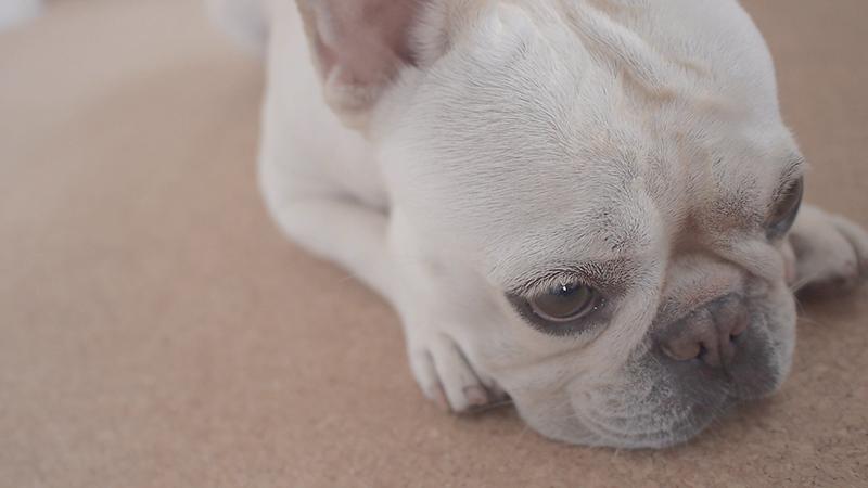 犬 避妊手術