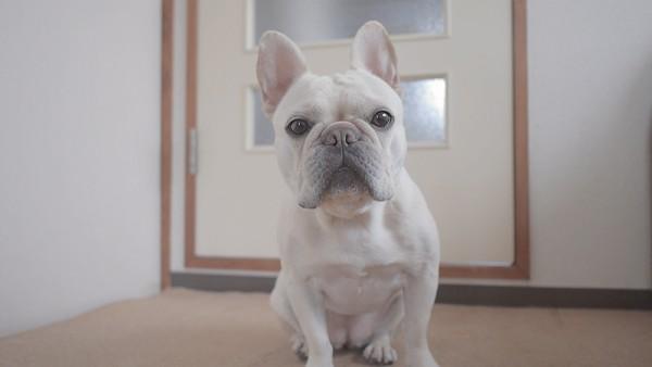 犬 避妊手術2