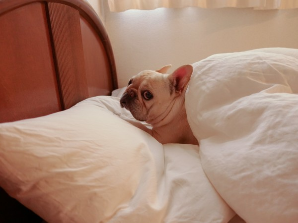 フレンチブルドッグこうめさんとベッド3