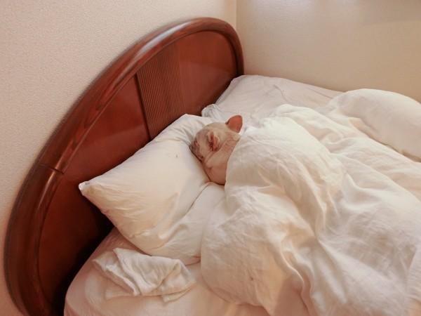 フレンチブルドッグこうめさんとベッド2