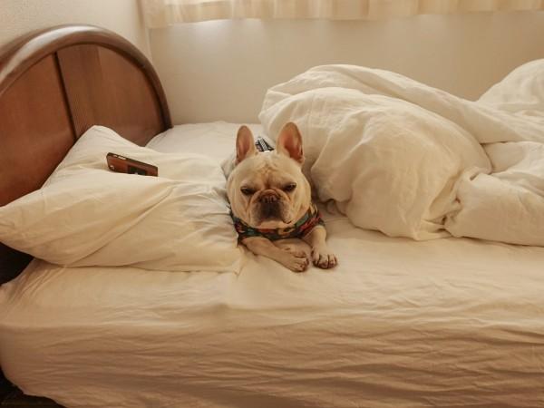 フレンチブルドッグこうめさん続ベッドでまどろみ2