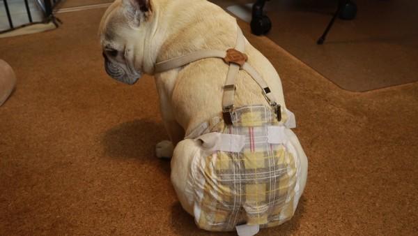 アルファアイコン 犬用 サスペンダー2