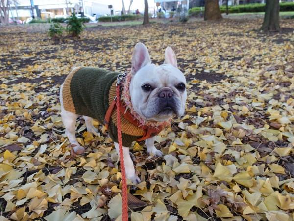 フレンチブルドッグこうめさんVAMOSのお洋服で公園散歩2