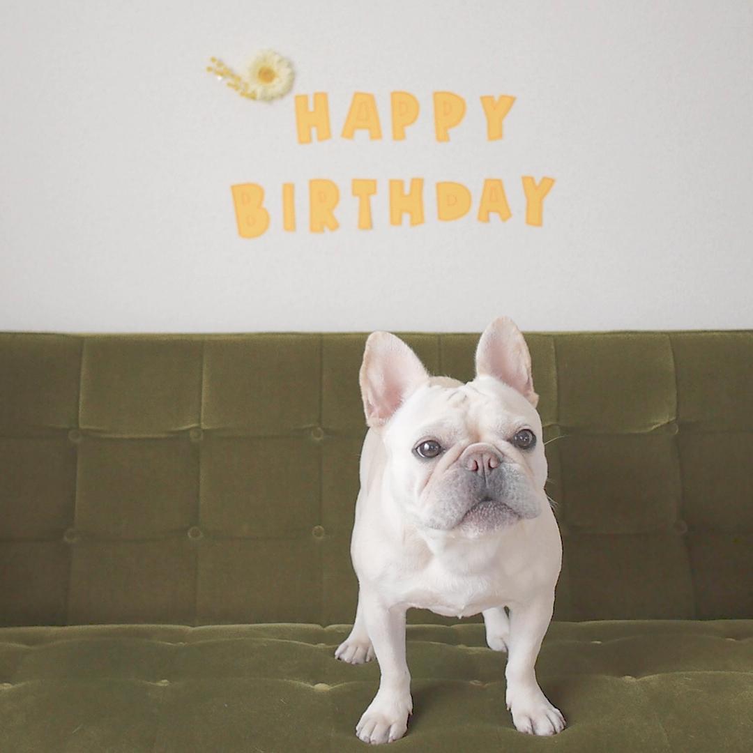 フレンチブルドッグこうめさん3才の誕生日