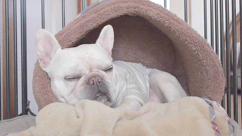 犬かまくらドーム型ベッドで寝る