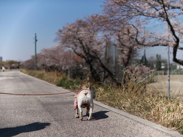 多摩川桜祭り